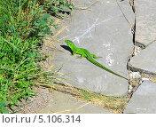 Купить «Прыткая ящерица (Lacerta agilis)», эксклюзивное фото № 5106314, снято 13 мая 2013 г. (c) Анна Мартынова / Фотобанк Лори