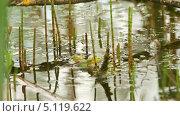 Купить «Две лягушки в пруду», видеоролик № 5119622, снято 4 октября 2013 г. (c) Алексас Кведорас / Фотобанк Лори