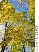 Осенняя желтая листва на фоне голубого неба. Стоковое фото, фотограф Илюхина Наталья / Фотобанк Лори