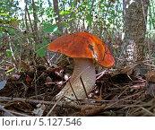 Подосиновик на фоне леса. Стоковое фото, фотограф Александр Заболотный / Фотобанк Лори