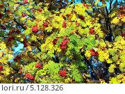 Купить «Рябина осенью», эксклюзивное фото № 5128326, снято 6 октября 2013 г. (c) Татьяна Белова / Фотобанк Лори