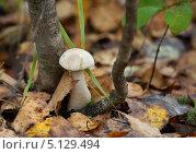 Купить «Подберёзовик среди лесной подстилки», эксклюзивное фото № 5129494, снято 2 сентября 2013 г. (c) Dmitry29 / Фотобанк Лори