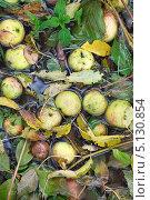 Упавшие зеленые яблоки лежат на земле в воде, осень. Стоковое фото, фотограф Попкова Ольга / Фотобанк Лори