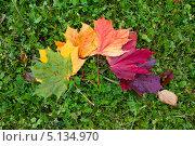 Осенние разноцветные кленовые листья лежат на зеленой траве. Стоковое фото, фотограф Мария Сударикова / Фотобанк Лори