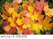 Купить «Осенние разноцветные кленовые листья лежат на зеленой траве», фото № 5134978, снято 8 октября 2013 г. (c) Мария Сударикова / Фотобанк Лори