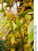 Купить «Осенние желтые листья крупным планом», фото № 5136770, снято 1 октября 2013 г. (c) Игорь Ткачёв / Фотобанк Лори