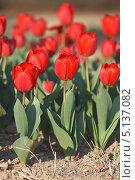 Купить «Сортовые красные садовые тюльпаны Геснера, Tulipa gesneriana , в грунте (малая глубина резкости)», фото № 5137082, снято 12 апреля 2013 г. (c) Ольга Липунова / Фотобанк Лори