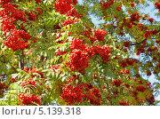 Ветки красной рябины. Стоковое фото, фотограф Agnes Chvankova / Фотобанк Лори