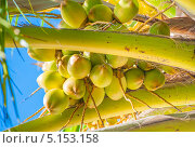 Купить «Зеленые кокосы на пальме в Мексике», фото № 5153158, снято 26 августа 2012 г. (c) Aleksandr Stzhalkovski / Фотобанк Лори