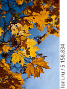 Купить «Желтые осенние листья клена на фоне неба», фото № 5158834, снято 12 октября 2013 г. (c) Юлия Бабкина / Фотобанк Лори