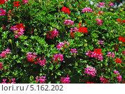 Пеларгония (лат. Pelargonium) Стоковое фото, фотограф lana1501 / Фотобанк Лори