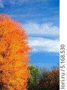 Золотая корона осеннего клена на фоне ярко-голубого неба. Стоковое фото, фотограф Людмила Герасимова / Фотобанк Лори