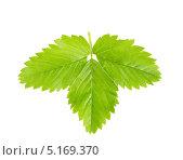 Листья клубники. Стоковое фото, фотограф Алексей Лукин / Фотобанк Лори