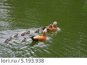 Купить «Утки на воде», фото № 5193938, снято 1 июня 2013 г. (c) LightLada / Фотобанк Лори