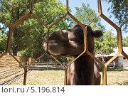 Купить «Верблюд в тени», эксклюзивное фото № 5196814, снято 27 июля 2012 г. (c) Алёшина Оксана / Фотобанк Лори