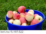 Корзина яблок. Стоковое фото, фотограф Багрянов / Фотобанк Лори