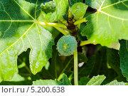 Растущий инжир. Стоковое фото, фотограф сергей юренков / Фотобанк Лори