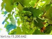 Виноградная лоза. Стоковое фото, фотограф сергей юренков / Фотобанк Лори