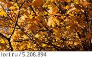 Купить «Осенний клен», видеоролик № 5208894, снято 10 октября 2013 г. (c) Михаил Коханчиков / Фотобанк Лори