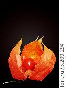 Купить «Раскрытая коробочка физалиса со спелой ягодой внутри, на черном фоне», фото № 5209294, снято 25 сентября 2010 г. (c) Юлия Маливанчук / Фотобанк Лори