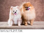 Купить «Портрет двух собак породы померанский шпиц», фото № 5217726, снято 24 октября 2013 г. (c) Сергей Лаврентьев / Фотобанк Лори