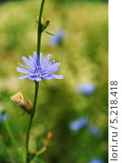 Цветок цикория. Стоковое фото, фотограф Владимир Ворона / Фотобанк Лори