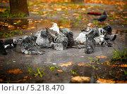 Городские голуби купаются в осенней луже. Стоковое фото, фотограф Наталия Тихонова / Фотобанк Лори