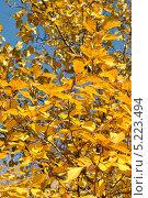 Купить «Желтые осенние листья боярышника (лат. Crataegus)», эксклюзивное фото № 5223494, снято 13 октября 2013 г. (c) lana1501 / Фотобанк Лори
