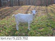 Белая коза на опушке осеннего леса. Стоковое фото, фотограф Юрий Василенко / Фотобанк Лори