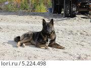 Собака с умным видом лежащая на песке. Стоковое фото, фотограф Алексей Багаев / Фотобанк Лори