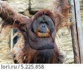 Орангутанг. Стоковое фото, фотограф Kate Chizhikova / Фотобанк Лори