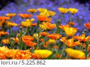 Оранжевые цветы на клумбе. Стоковое фото, фотограф Kate Chizhikova / Фотобанк Лори