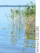 Купить «Тростник на летнем озере», фото № 5232282, снято 4 августа 2013 г. (c) Юрий Брыкайло / Фотобанк Лори