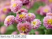 Куст хризантем с пчелой, собирающей пыльцу. Стоковое фото, фотограф Наталия Тихонова / Фотобанк Лори