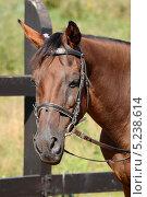Купить «Голова лошади», эксклюзивное фото № 5238614, снято 17 августа 2013 г. (c) Юрий Морозов / Фотобанк Лори