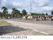 Коровы идут по шоссе. Стоковое фото, фотограф Братчук Геннадий / Фотобанк Лори