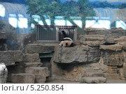 Купить «Гигантская панда в Пекинском зоопарке, Китай», фото № 5250854, снято 16 октября 2013 г. (c) Владимир Журавлев / Фотобанк Лори