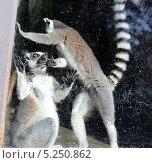 Купить «Кошачьи лемуры (лемур Катта) в вольере зоопарка за стеклом», фото № 5250862, снято 16 октября 2013 г. (c) Владимир Журавлев / Фотобанк Лори