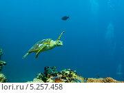 Купить «Морская черепаха плывет над коралловым рифом», фото № 5257458, снято 10 февраля 2013 г. (c) Сергей Дубров / Фотобанк Лори