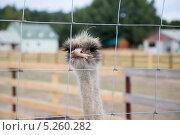 Голова страуса в клетке. Стоковое фото, фотограф Петров Игорь Алексеевич / Фотобанк Лори