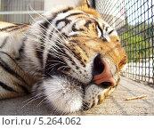 Спящий тигр в ялтинском зоопарке. Стоковое фото, фотограф Денис Король / Фотобанк Лори