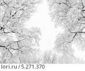 Купить «Заснеженные ветви на фоне густого тумана», фото № 5271370, снято 10 января 2010 г. (c) Людмила Жмурина / Фотобанк Лори