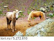 Две лошади в Гималаях. Стоковое фото, фотограф Наталия Давидович / Фотобанк Лори