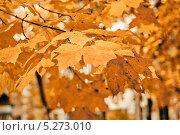 Купить «Осенние кленовые листья на ветке», фото № 5273010, снято 11 октября 2013 г. (c) Иван Бондаренко / Фотобанк Лори