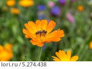 Сбор пыльцы. Стоковое фото, фотограф Дмитрий / Фотобанк Лори