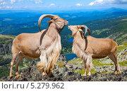 Купить «Пара гривастых баранов на фоне дикой природы», фото № 5279962, снято 6 апреля 2013 г. (c) Яков Филимонов / Фотобанк Лори