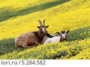 Купить «Козы отдыхают на цветущем лугу», фото № 5284582, снято 5 мая 2013 г. (c) Марина Орлова / Фотобанк Лори