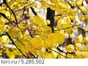 Купить «Листья липы крупнолистной (Tilia) в тени», эксклюзивное фото № 5285502, снято 13 октября 2013 г. (c) Алёшина Оксана / Фотобанк Лори