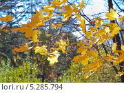 Купить «Листья клёна на ветру», эксклюзивное фото № 5285794, снято 13 октября 2013 г. (c) Алёшина Оксана / Фотобанк Лори
