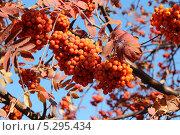 Ветки красной рябины с гроздьями ягод. Стоковое фото, фотограф Алексей Шуляков / Фотобанк Лори